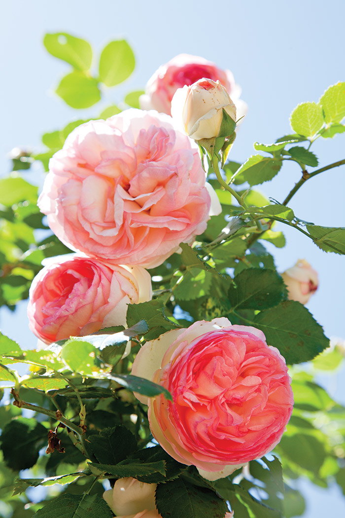 Old-English-Roses