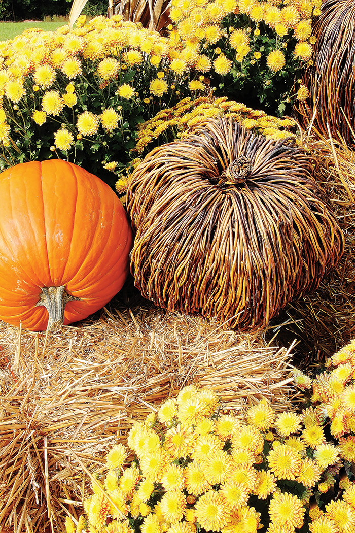 Pumpkins-at-Thistlewood