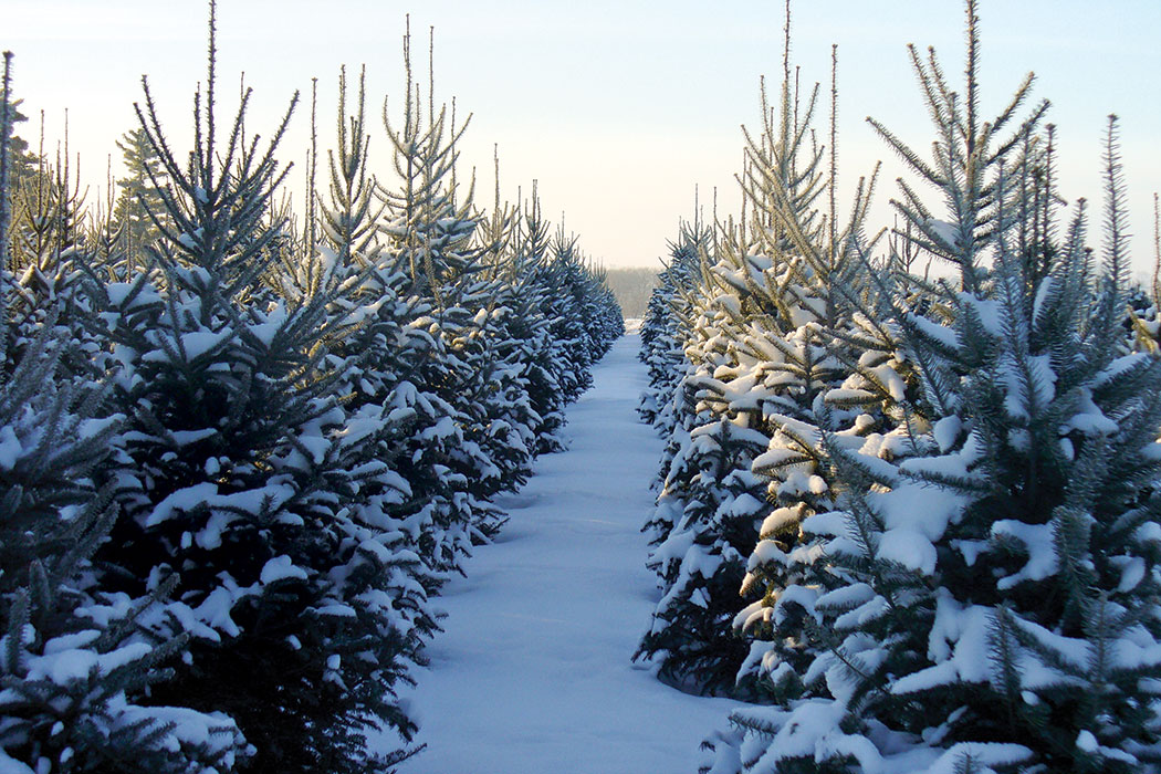 Find Your Christmas Tree Fresh From The Farm