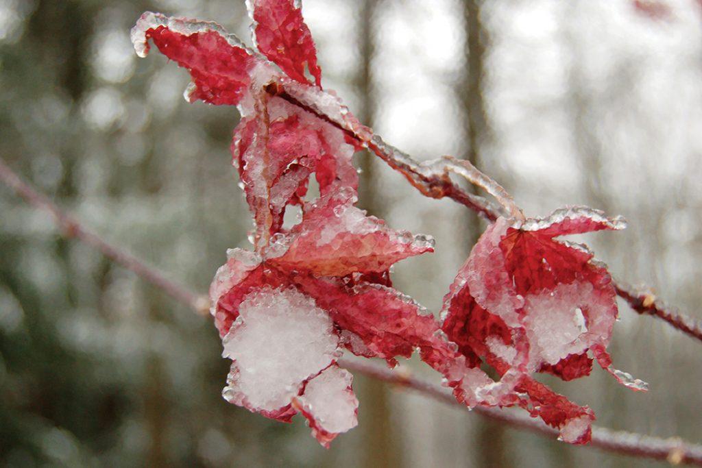 Juniper-Hill-snow-leaves