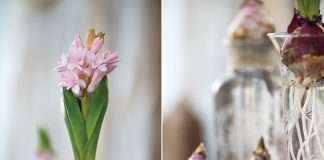 Hyacinths When You Need Them | The Cottage Journal