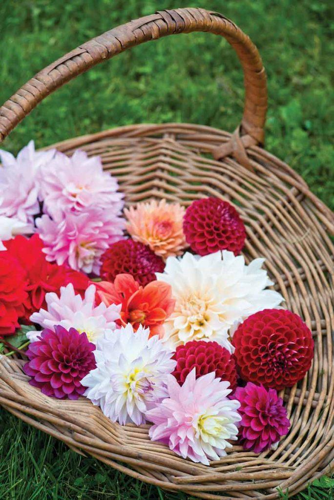 Basket of multi-colored dahlias