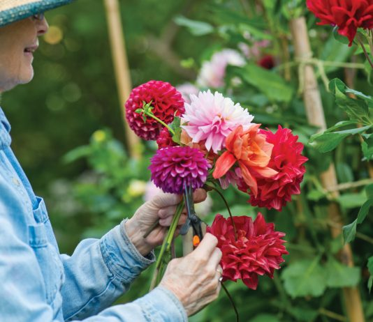 An Oceanside Garden Decked with Dahlias