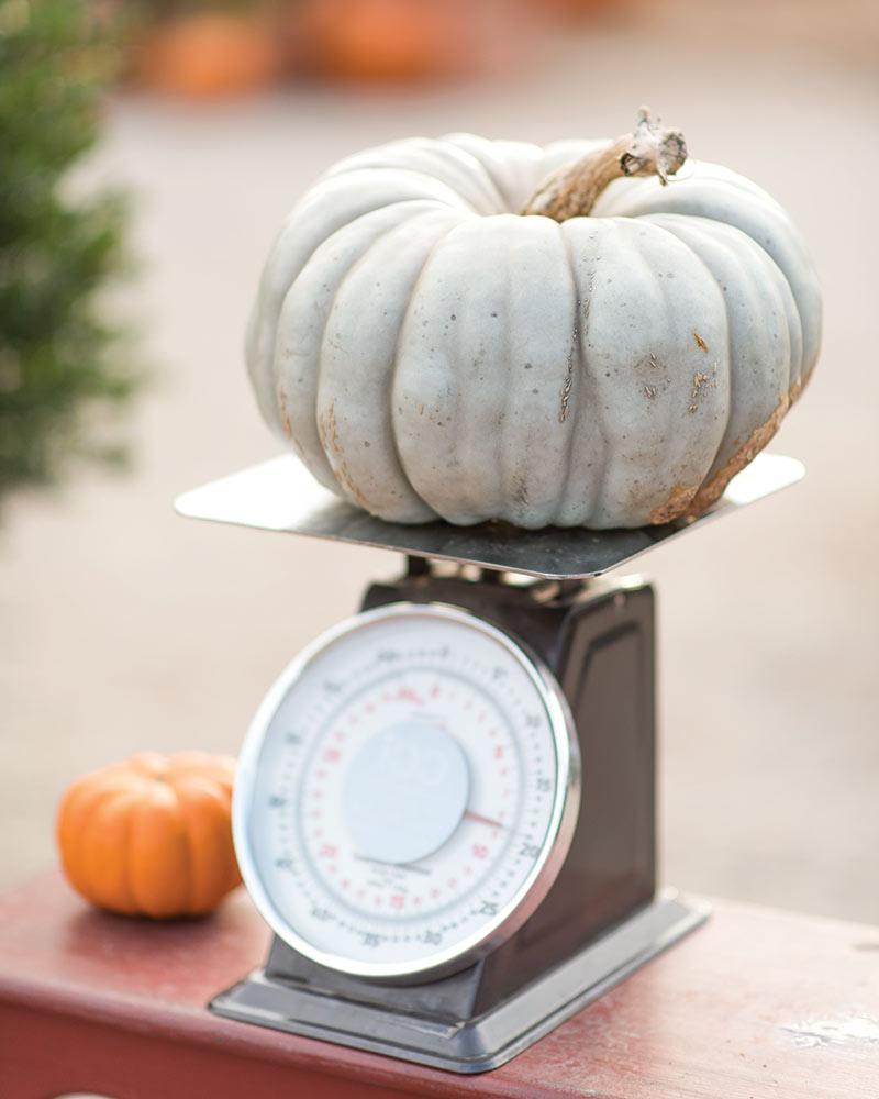 The Farmer's Daughter light green pumpkin on a scale