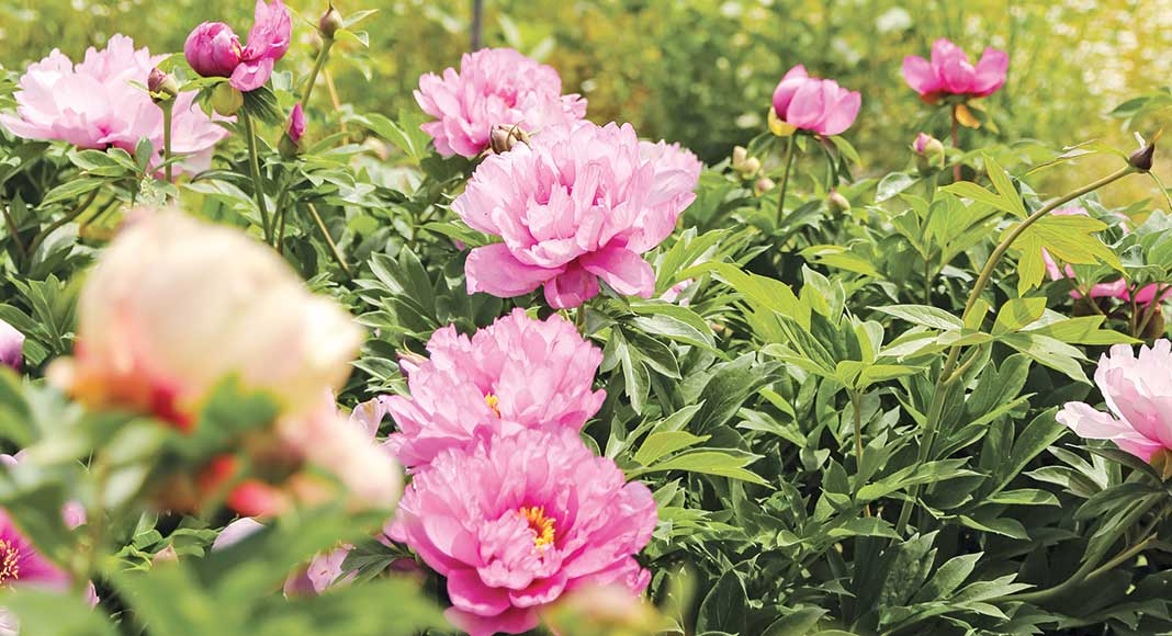 Growing The Perfect Peony Cottage Journal